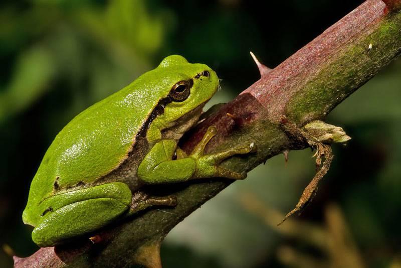 Groene-Boomkikker
